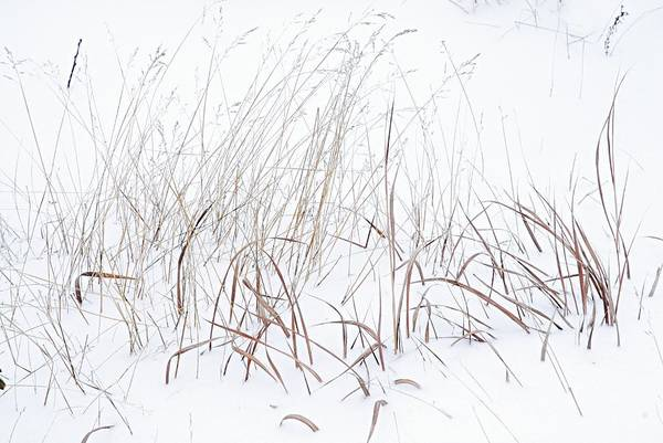 Photograph - Grass In The Snow by Larry Ricker