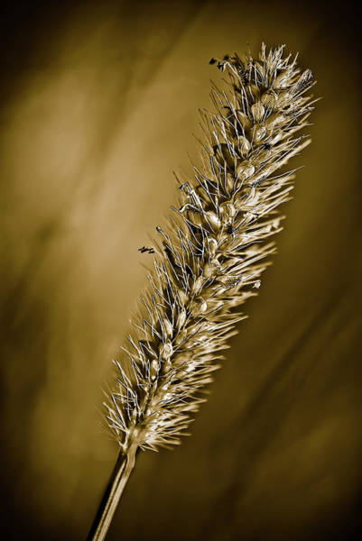 Photograph - Grass Seedhead by  Onyonet  Photo Studios