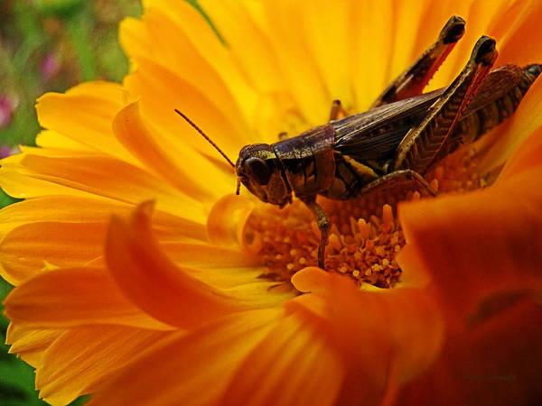 Zinnia Flower Wall Art - Digital Art - Grasshopper Luncheon by Lianne Schneider