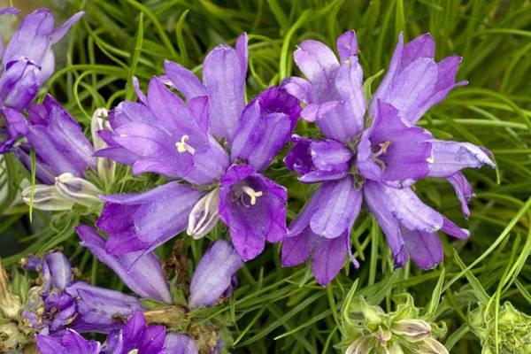Campanulaceae Photograph - Grassy Bells (edraianthus Graminifolius) by Bob Gibbons