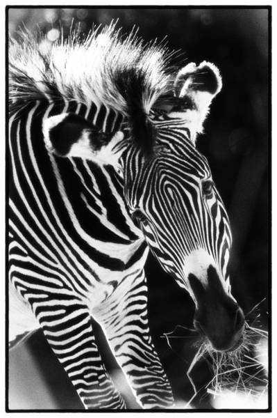 Art Print featuring the photograph Gravy Zebra by Perla Copernik