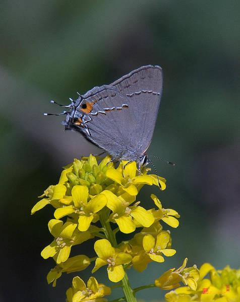 Photograph - Gray Hairstreak Butterfly Din044 by Gerry Gantt