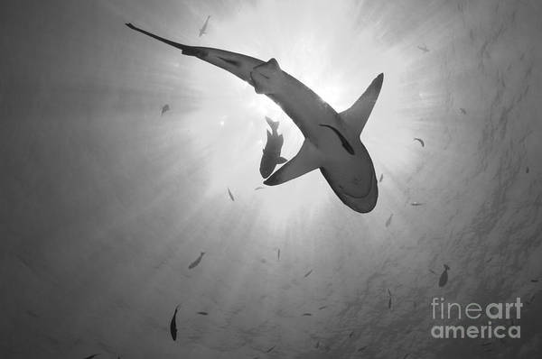 Kimbe Bay Wall Art - Photograph - Gray Reef Shark, Kimbe Bay, Papua New by Steve Jones