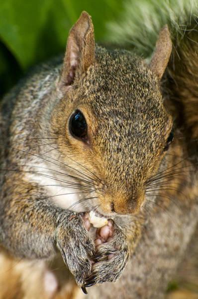 Grey Squirrel Photograph - Gray Squirrel by Fabrizio Troiani