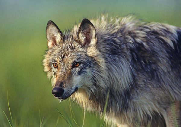 Wall Art - Photograph - Gray Wolf Native To North America by Tim Fitzharris