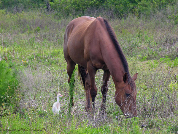 Photograph - Grazing Chestnut Horse With Cattle Egret by Grace Dillon