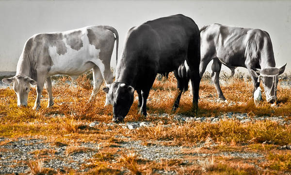 Photograph - Grazing by Daniel Marcion