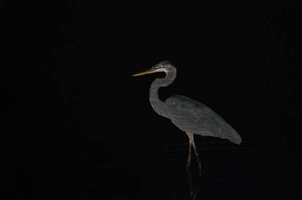 Photograph - Great Blue Heron After Sundown by Mary McAvoy