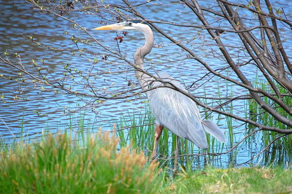 Photograph - Great Blue Heron At Pond's Edge by Mary McAvoy