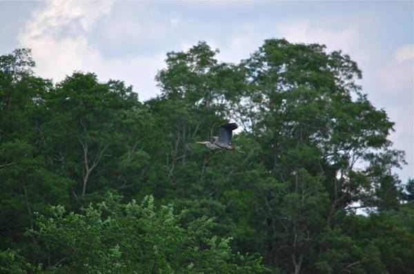 Photograph - Great Blue Heron At Treeline by Mary McAvoy