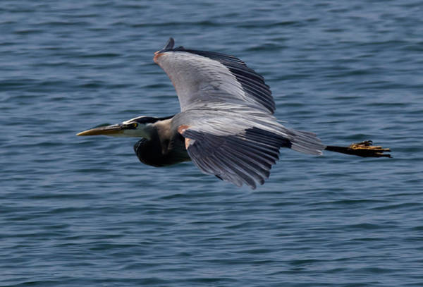 Huron Wall Art - Photograph - Great Blue Heron by Cale Best