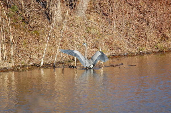Photograph - Great Blue Heron Closes Wings by Mary McAvoy