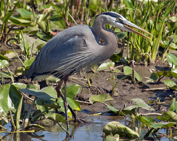 Photograph - Great Blue Heron Dmsb0005 by Gerry Gantt