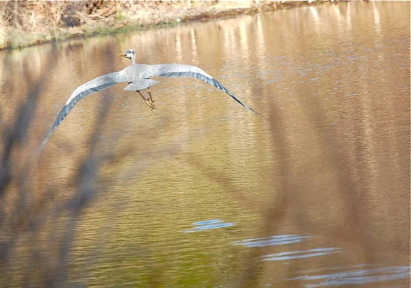 Photograph - Great Blue Heron Downstroke by Mary McAvoy