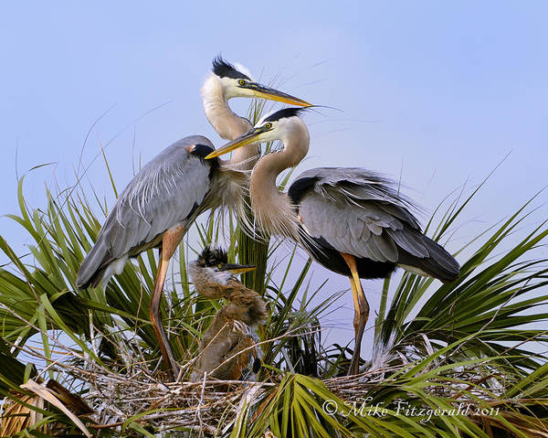 Photograph - Great Blue Heron Family by Mike Fitzgerald