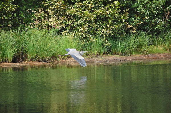 Photograph - Great Blue Heron Flies Along Shoreline by Mary McAvoy