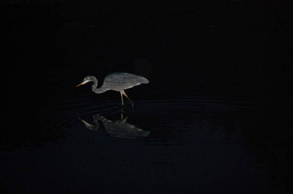 Photograph - Great Blue Heron Hunts After Sundown by Mary McAvoy