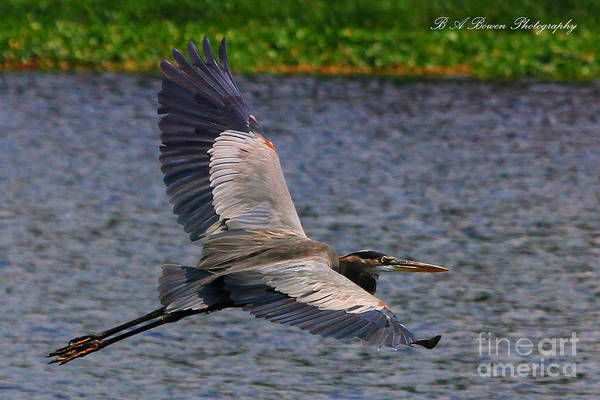 Photograph - Great Blue Heron In Flight by Barbara Bowen