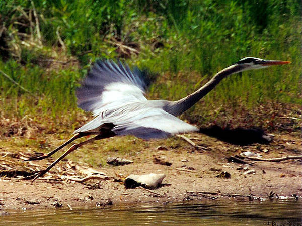 Mixed Media - Great Blue Heron In Flight by Bruce Ritchie