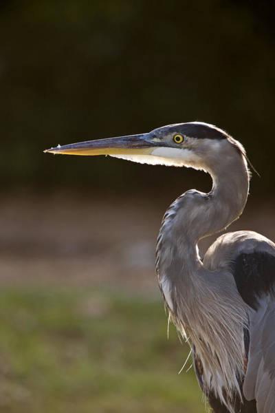Marsh Bird Digital Art - Great Blue Heron In Florida by Mark Duffy