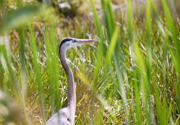 Photograph - Great Blue Heron In Reeds by Mary McAvoy