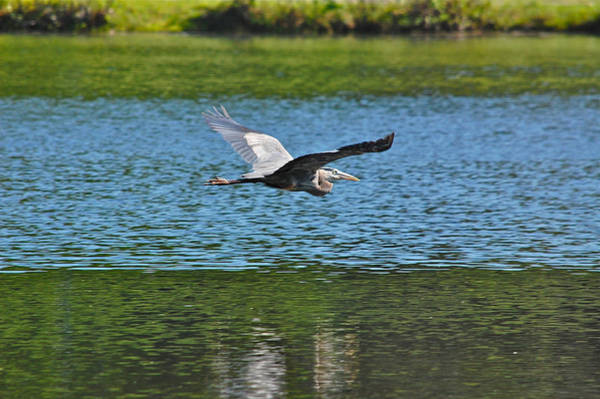 Photograph - Great Blue Heron In Shades Of Green And Blue by Mary McAvoy