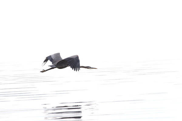 Photograph - Great Blue Heron by Jason Smith