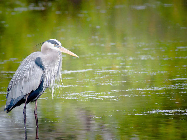 Photograph - Great Blue Heron by Jim DeLillo