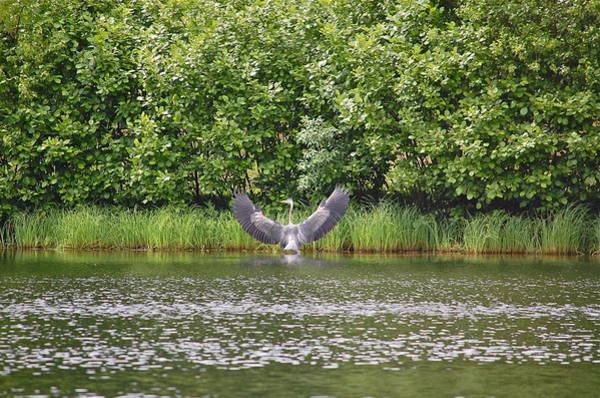 Photograph - Great Blue Heron Opens Wings by Mary McAvoy
