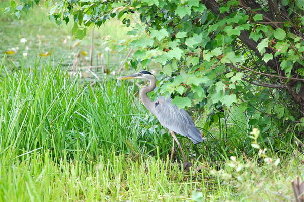 Photograph - Great Blue Heron Portrait by Mary McAvoy