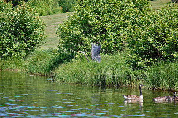 Photograph - Great Blue Heron Rising by Mary McAvoy