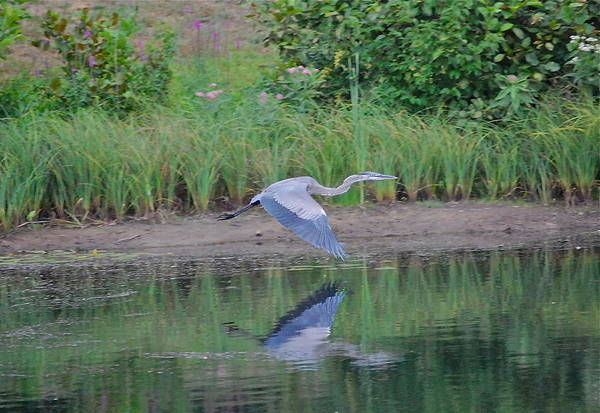 Photograph - Great Blue Heron Skims Along by Mary McAvoy