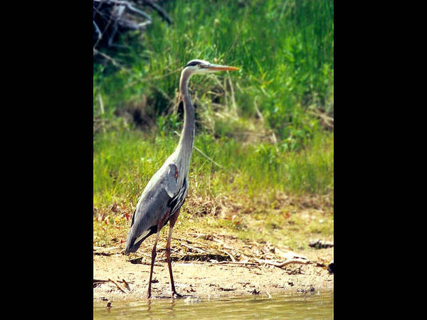 Mixed Media - Great Blue Heron Standing At Shore by Bruce Ritchie