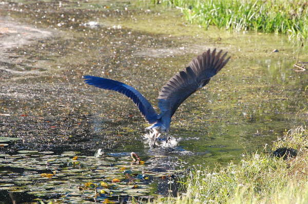 Photograph - Great Blue Heron Strikes Bass by Mary McAvoy