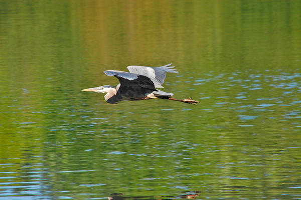 Photograph - Great Blue Heron With Confidence by Mary McAvoy