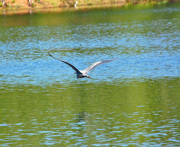 Photograph - Great Blue Heron's Beautiful Wings by Mary McAvoy
