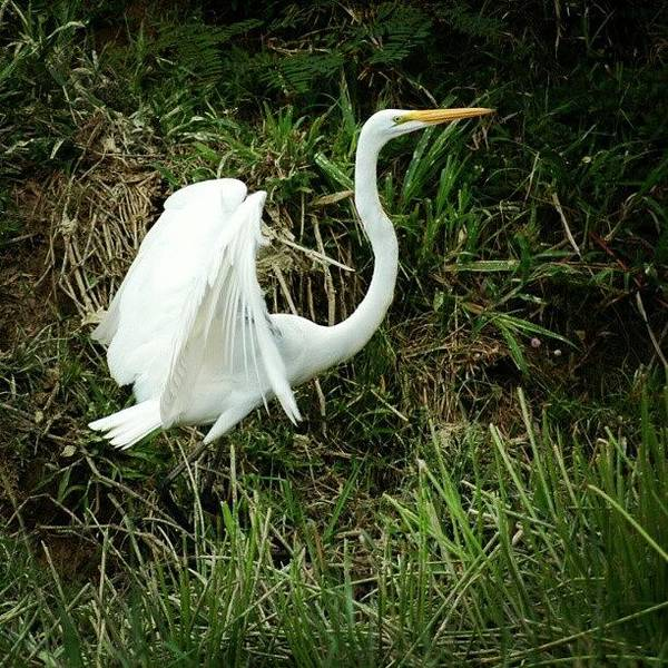 Egret Photograph - #great #egret Being Awesome In #belize by Joe P
