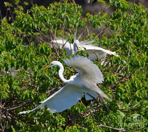 Wall Art - Photograph - Great Egret In Flight by Louise Heusinkveld