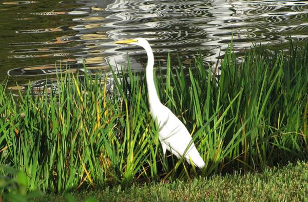 Photograph - Great Egret by Keith Stokes