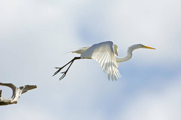 Photograph - Great Egret Lift Off by Patrick M Lynch