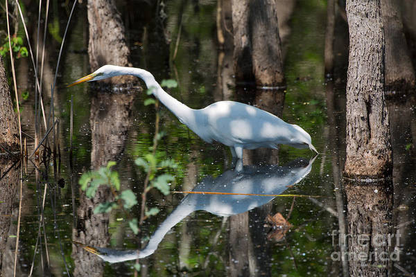 Wall Art - Photograph - Great Egret by Louise Heusinkveld