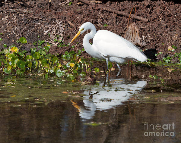 Wall Art - Photograph - Great Egret Searching For Food In The Marsh by Louise Heusinkveld