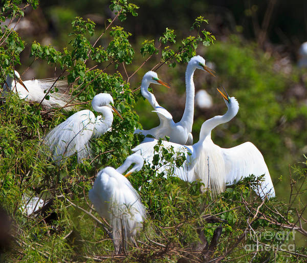 Wall Art - Photograph - Great Egrets Courting by Louise Heusinkveld