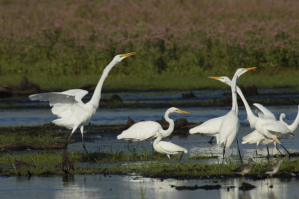 United States Territory Photograph - Great Egrets Square Off Over Territory by George Grall