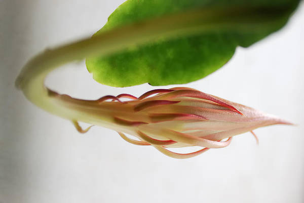 Cactus Flower Photograph - Great Expectations by Susan Capuano