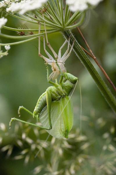 Great Pyrenees Photograph - Great Green Bush-cricket by Bob Gibbons