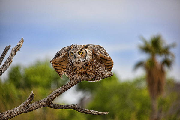 Wall Art - Photograph - Great Horned Owl by Dan Nelson