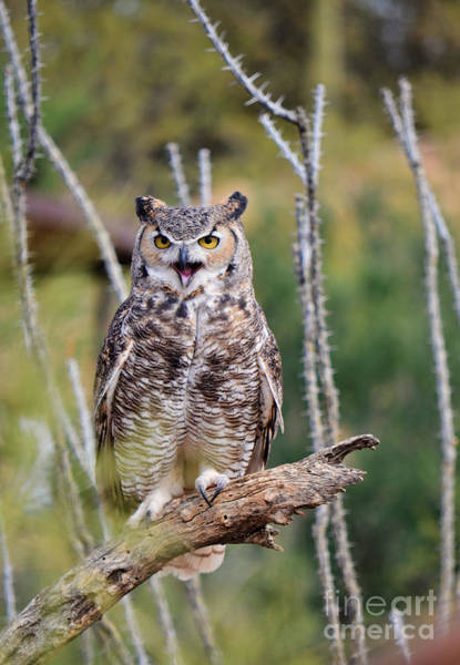 Photograph - Great Horned Owl by Donna Greene