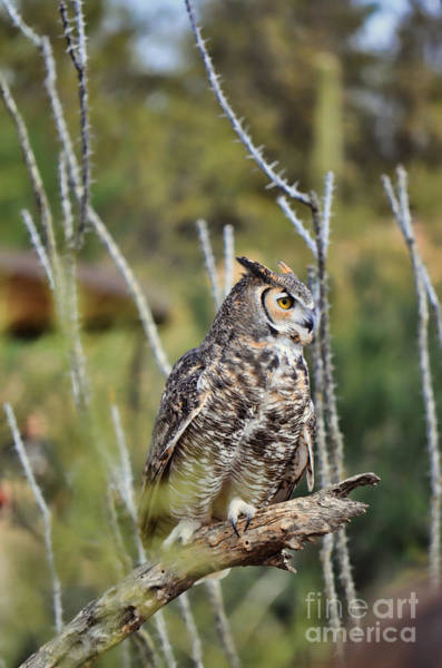 Photograph - Great Horned Owl II by Donna Greene