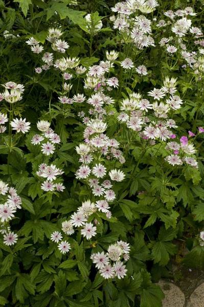 Astrantia Photograph - Great Masterwort (astrantia Major) by Bob Gibbons